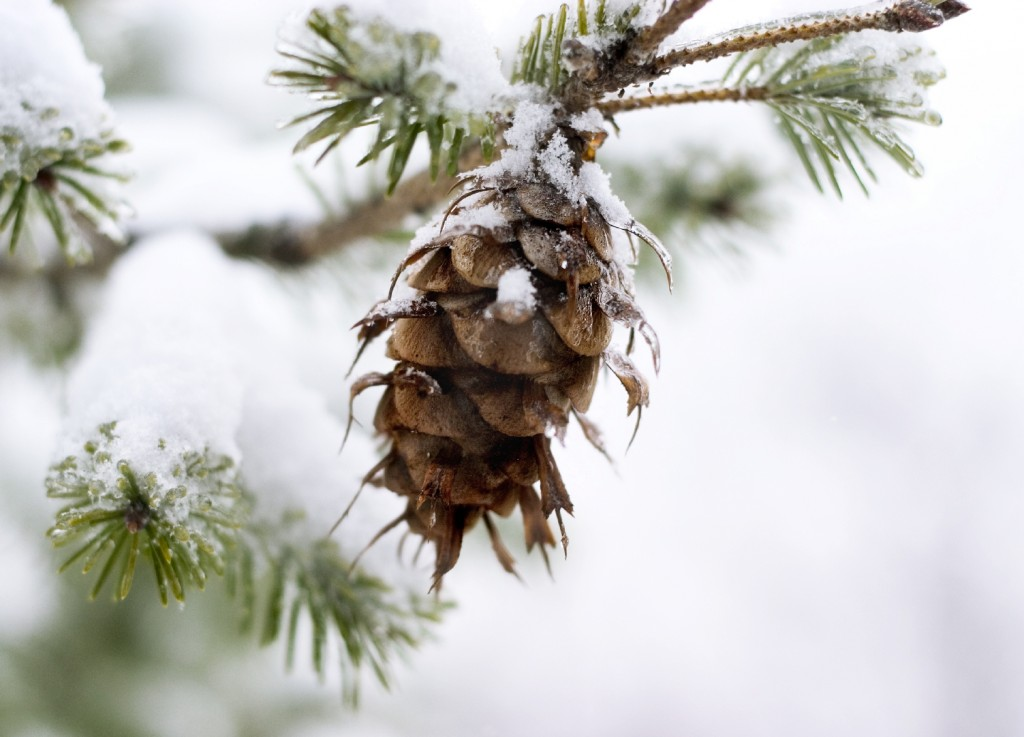 pinecone in snow