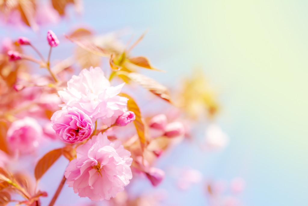 Sakura flower cherry blossom.
