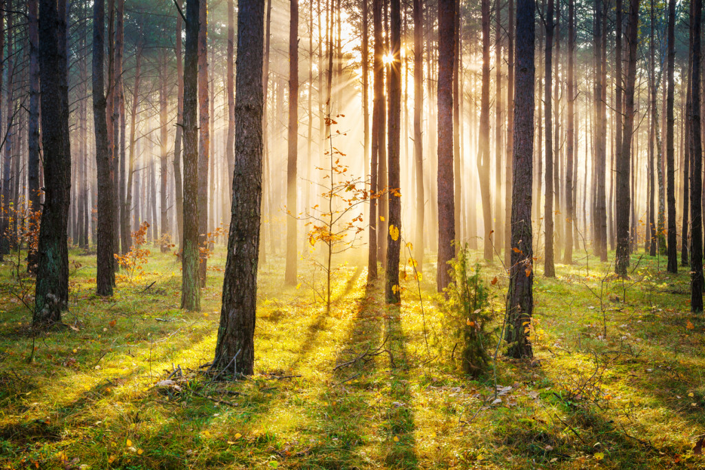 Morning Sun Rays Penetrating Forest - XXXL HDR image