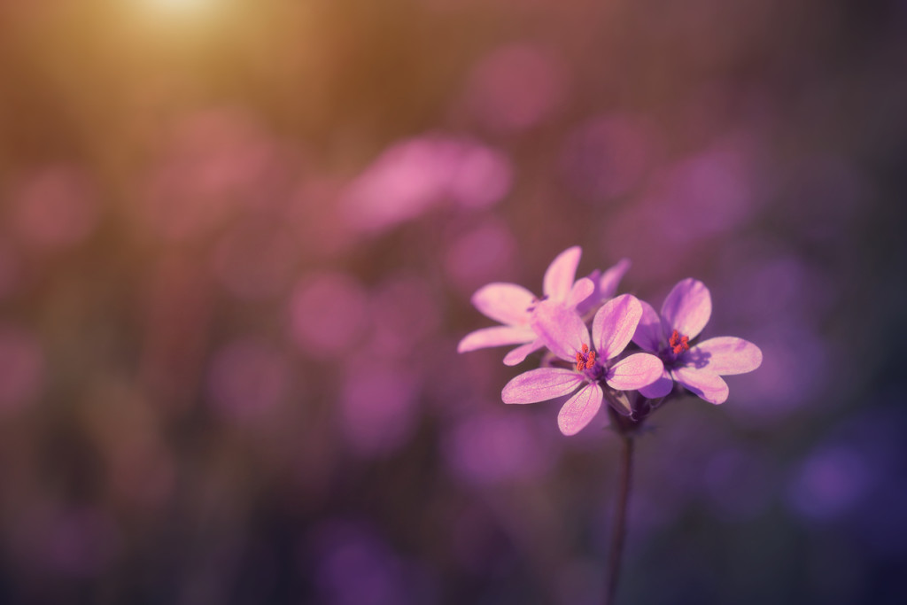 Wild flower in sunset on the field