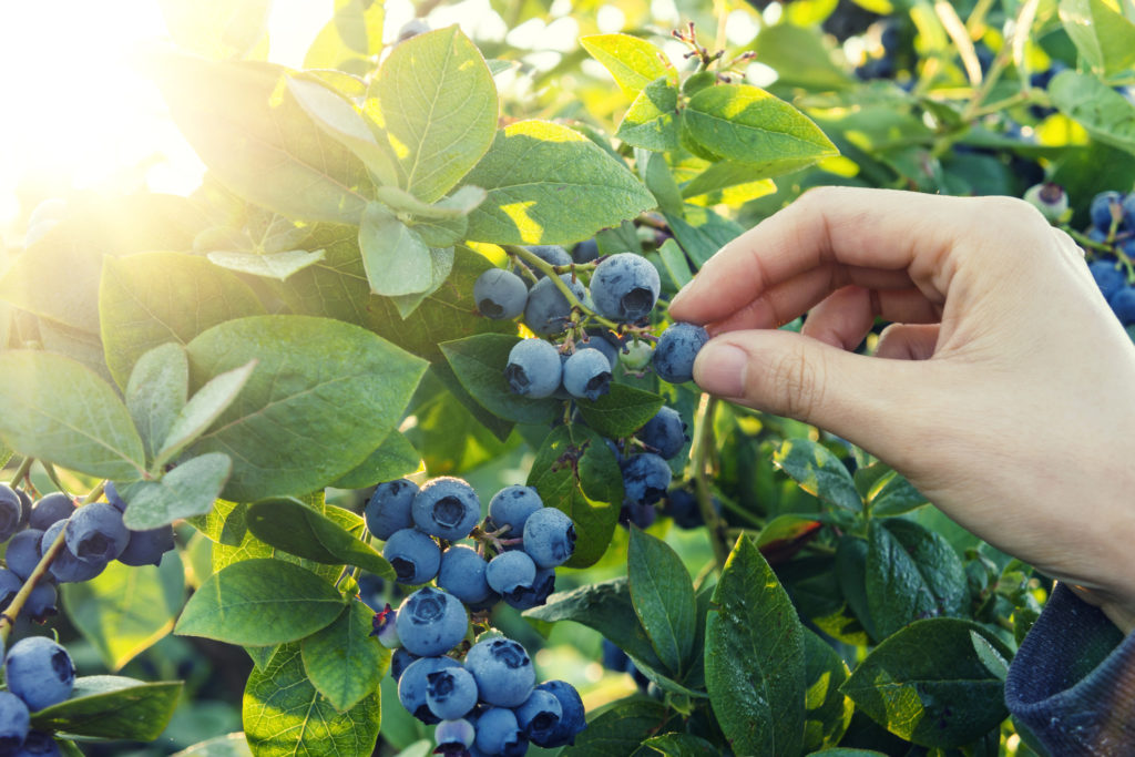 picking-blueberries